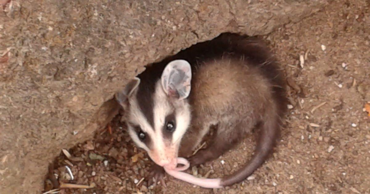 não confunda rato com timbu que é marsupial e semeador oxerecife
