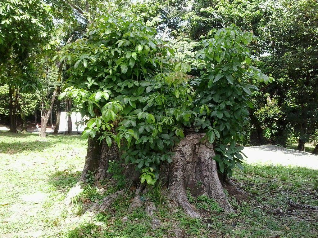 Leitor Leo mostra árvores mutiladas, no Sítio da Trindade: esforço de sobrevivência