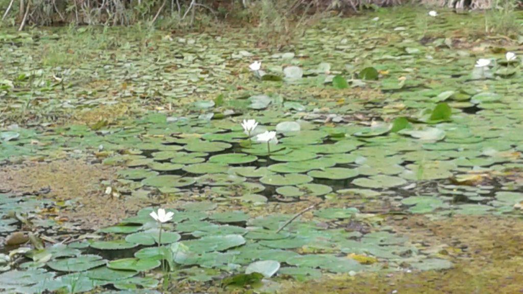 No Pedi Dois Irmãos há pelo menos 48 espécies de plantas aquáticas, além de 170 terrestres.