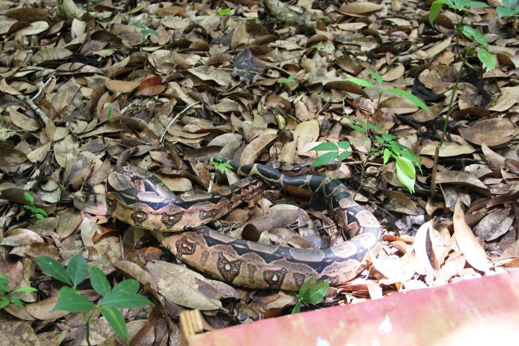 Esta cobra está entre os animais que  vêm sendo liberados, neste momento, na cidade de Caruaru.
